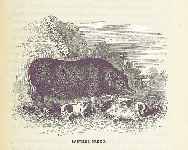 on the domesticated animals - saimese breed pig