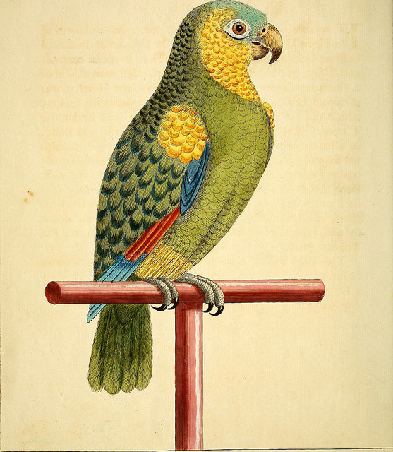 a natural history of birds - parrot